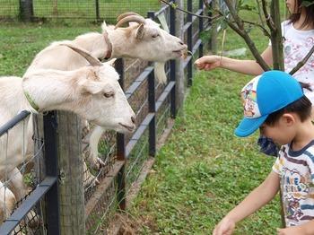 なつっこい山羊