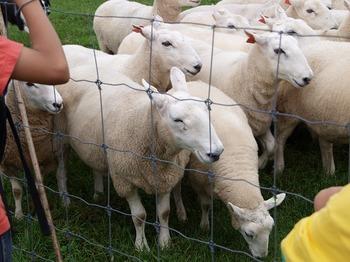 追われる羊